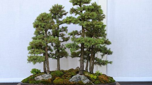 Бонсай. Bonsai forest.