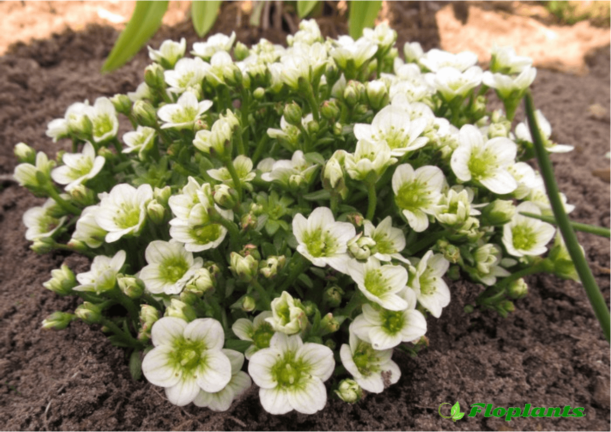 Камнеломка. Saxifraga Touran Lime Green.