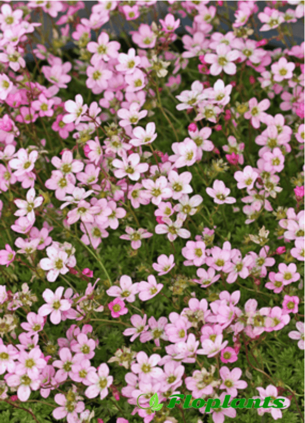 Камнеломка. Saxifraga purple carpet.