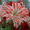 Hippeastrum dancing queen. Гиппеаструм.