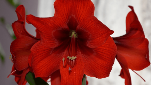 Hippeastrum royal red. Гиппеаструм.