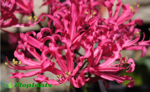 Nerine sarniensis. Нерине.