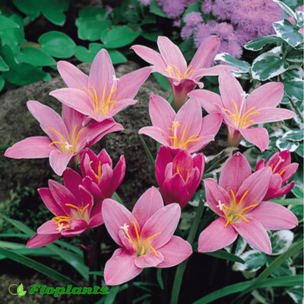 Zephyranthes robusta. Зефирантес.