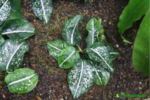 Aglaonema costatum. Аглаонема.