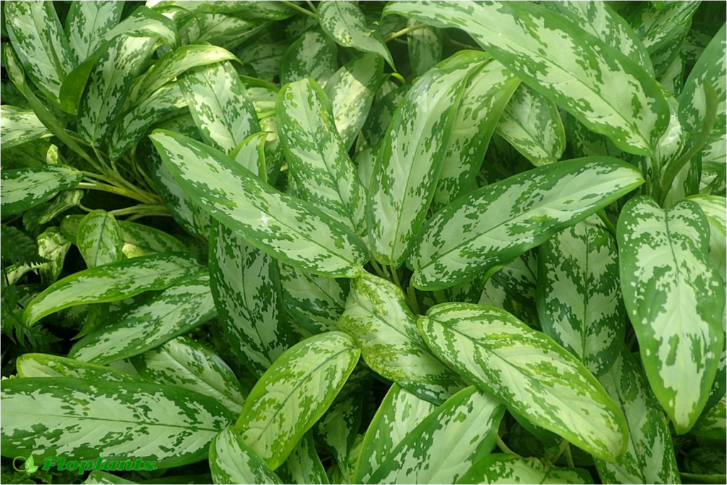 Aglaonema silver king. Аглаонема.