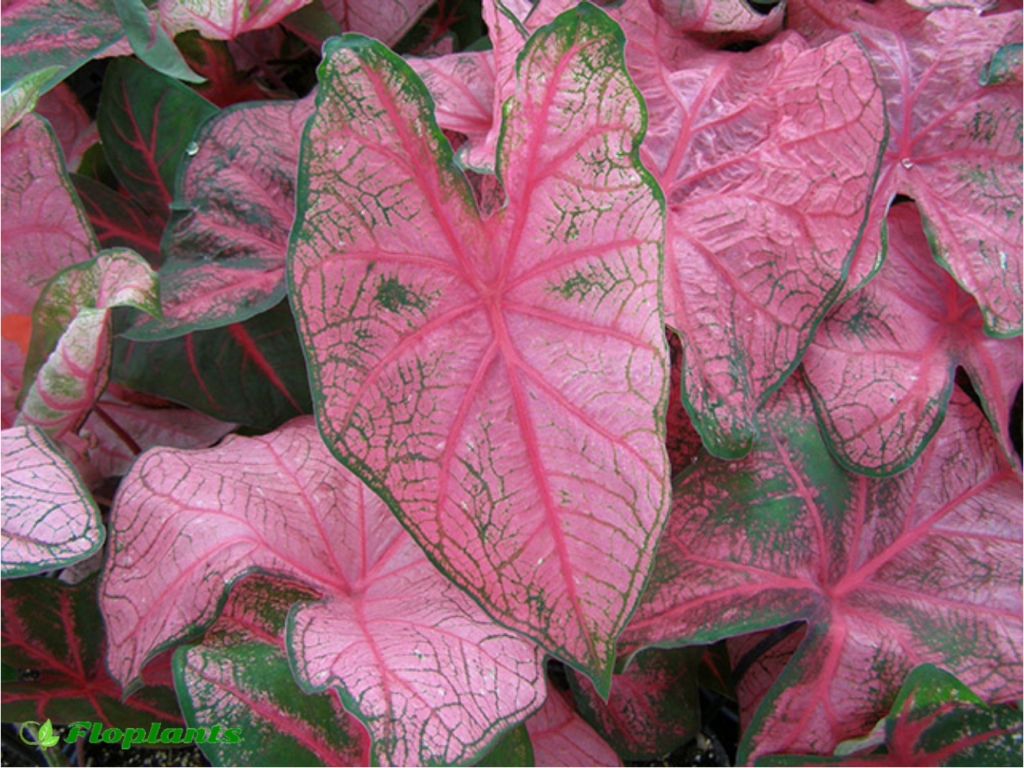 Caladium fannie munson. Каладиум.