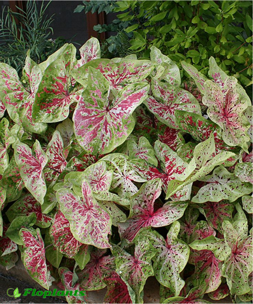 Caladium miss moffet. Каладиум.