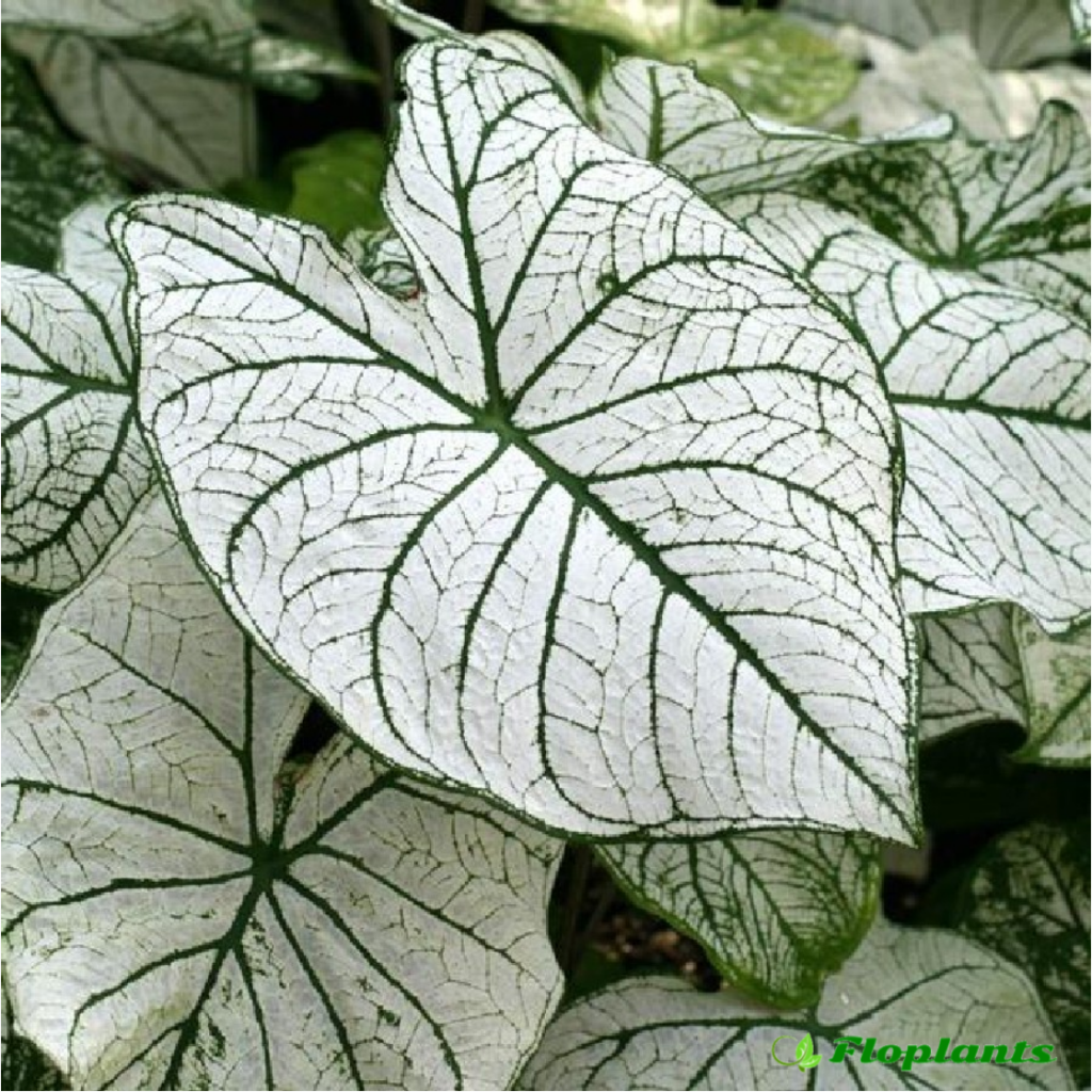 Caladium white christmas. Каладиум.