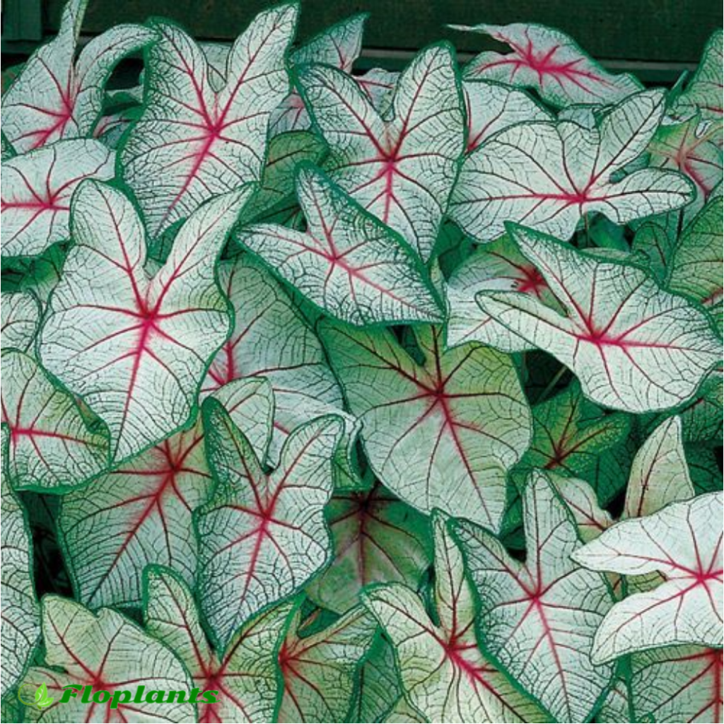 Caladium white queen. Каладиум.