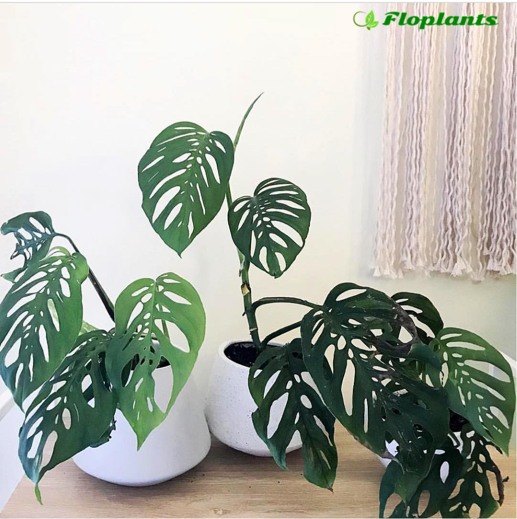Monstera adansonii. Монстера.