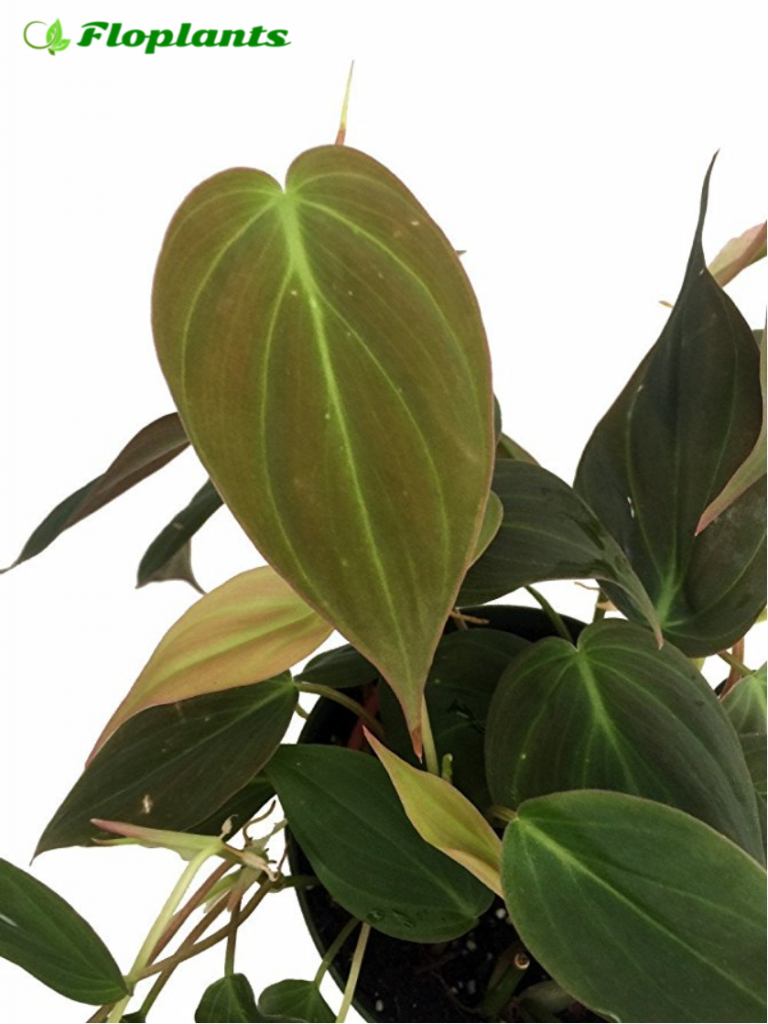 Philodendron micans. Филодендрон.