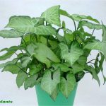 Syngonium white butterfly.