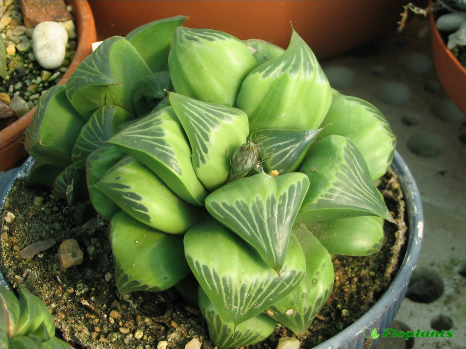 Haworthia retusa.