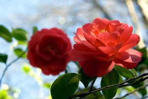 Camellia japonica somersby. ©Achromatic