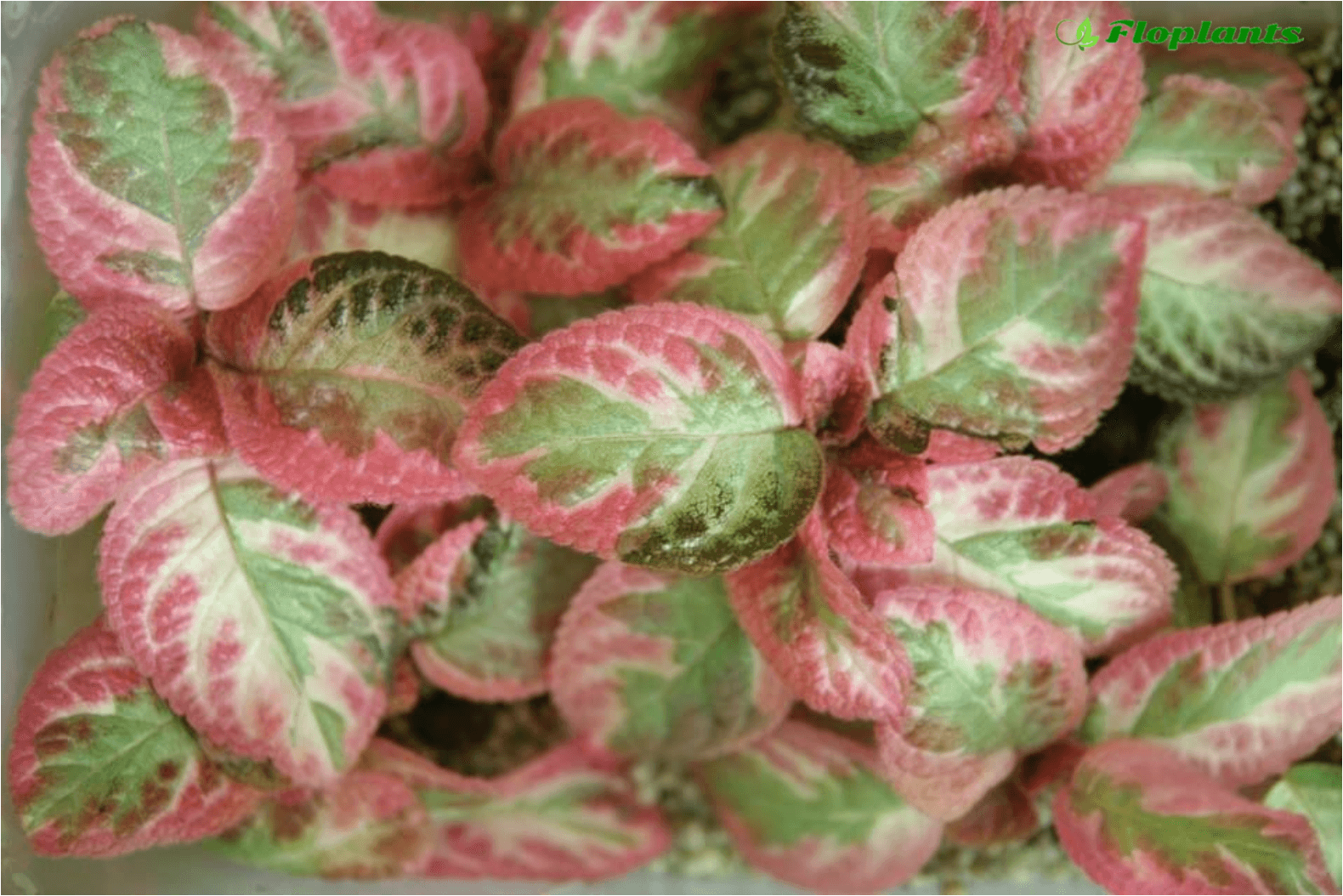 Эписция. Episcia Pink Shimmer Valley.