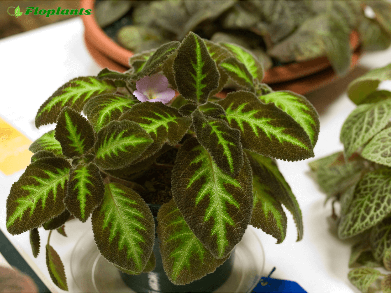 Эписция. Episcia lilacina Blue Nile.