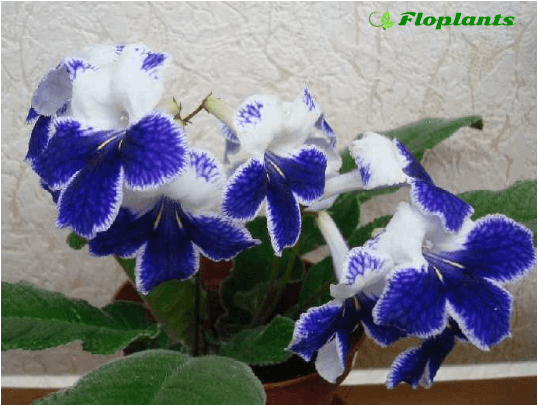 Streptocarpus Fashion Statement.