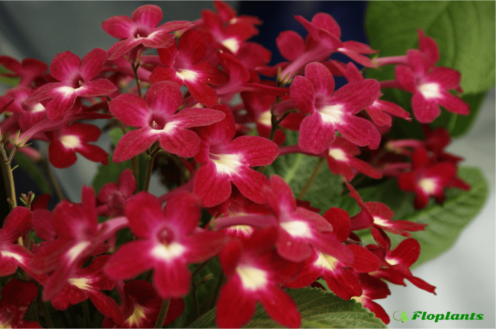 Streptocarpus Texas Hot Chili.