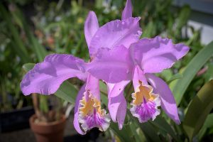 Каттлея. Cattleya mossiae.