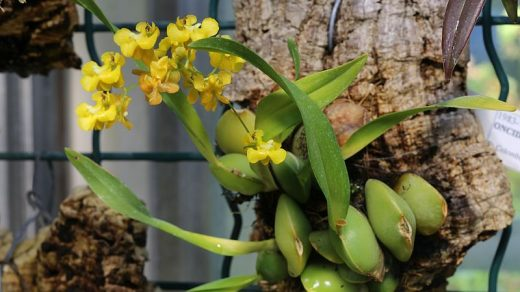Онцидиум. Oncidium cheirophorum.