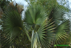 Sabal palmetto. Сабаль Пальметто.