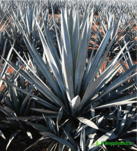 Agave tequilana. Агава.