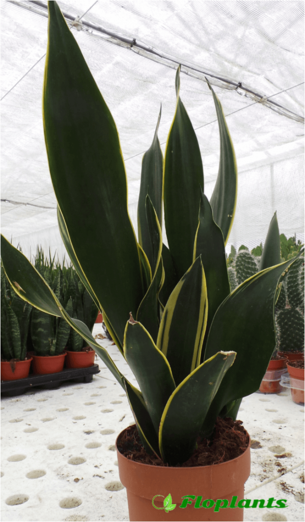 Sansevieria Diamond Flame. Сансевиерия или Сансевьера.
